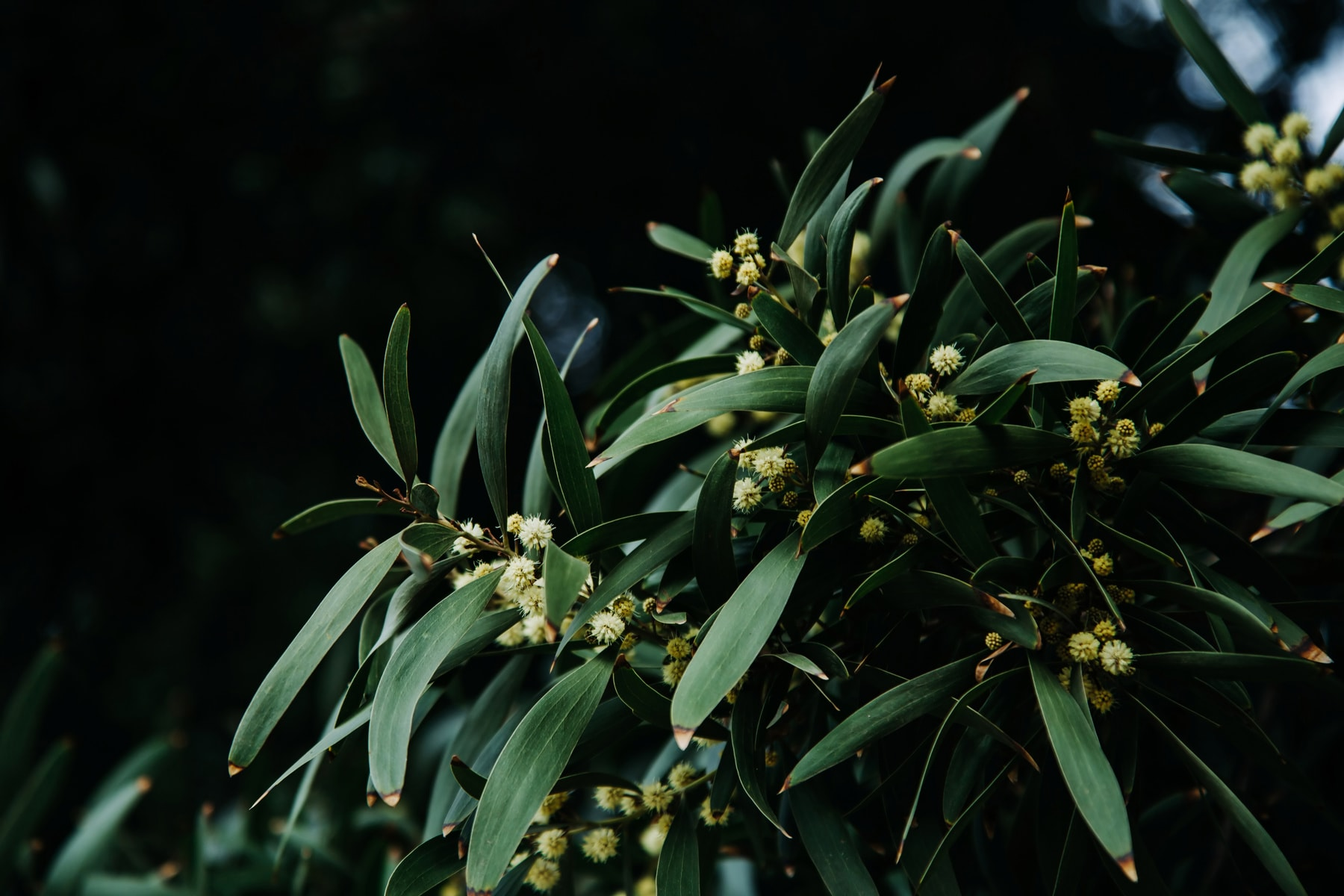 Close up of olive tree blossom in early spring, Italy